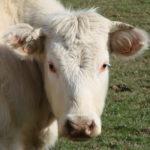 charolais-koeien-sur-yonne